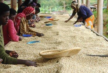 Rwanda Coffee Farmers